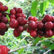Coffee Oil